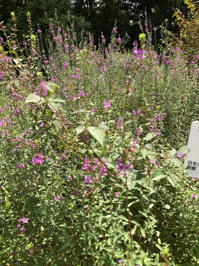 小石川植物園 ハギ