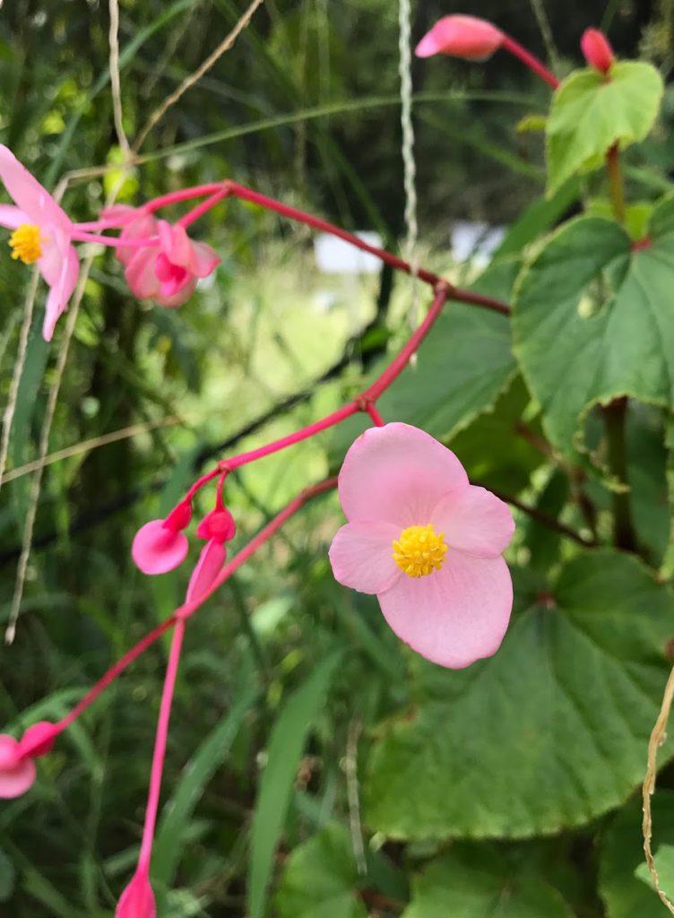 小石川植物園 シュウカイドウ