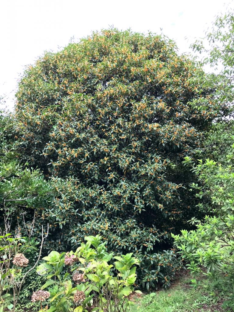 小石川植物園 キンモクセイ