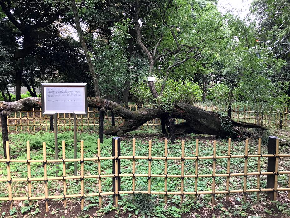 小石川植物園 サネブトナツメ