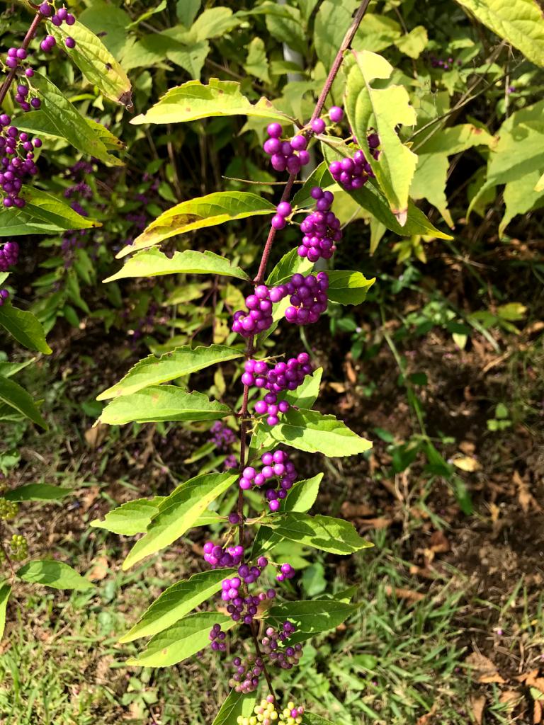 小石川植物園 コムラサキ