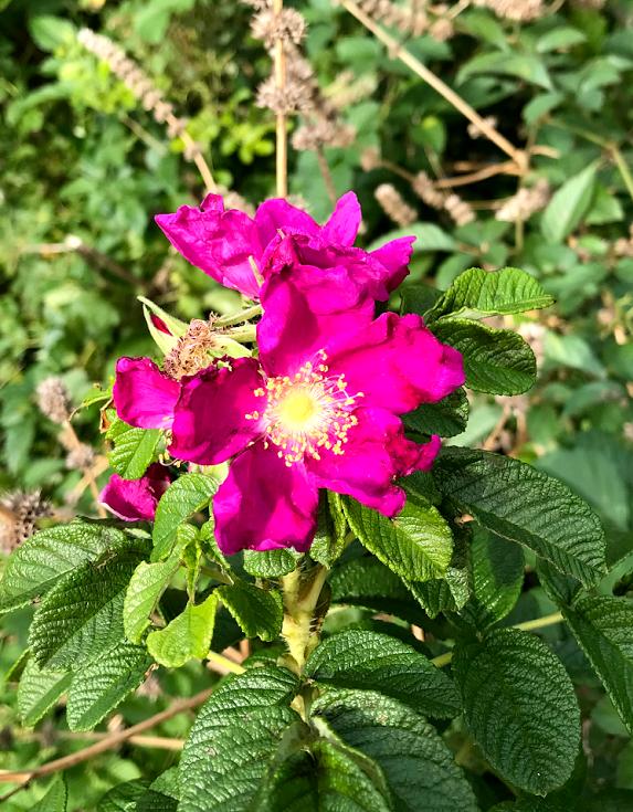 小石川植物園 ハマナス