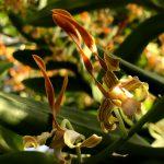 筑波実験植物園 熱帯雨林温室の花