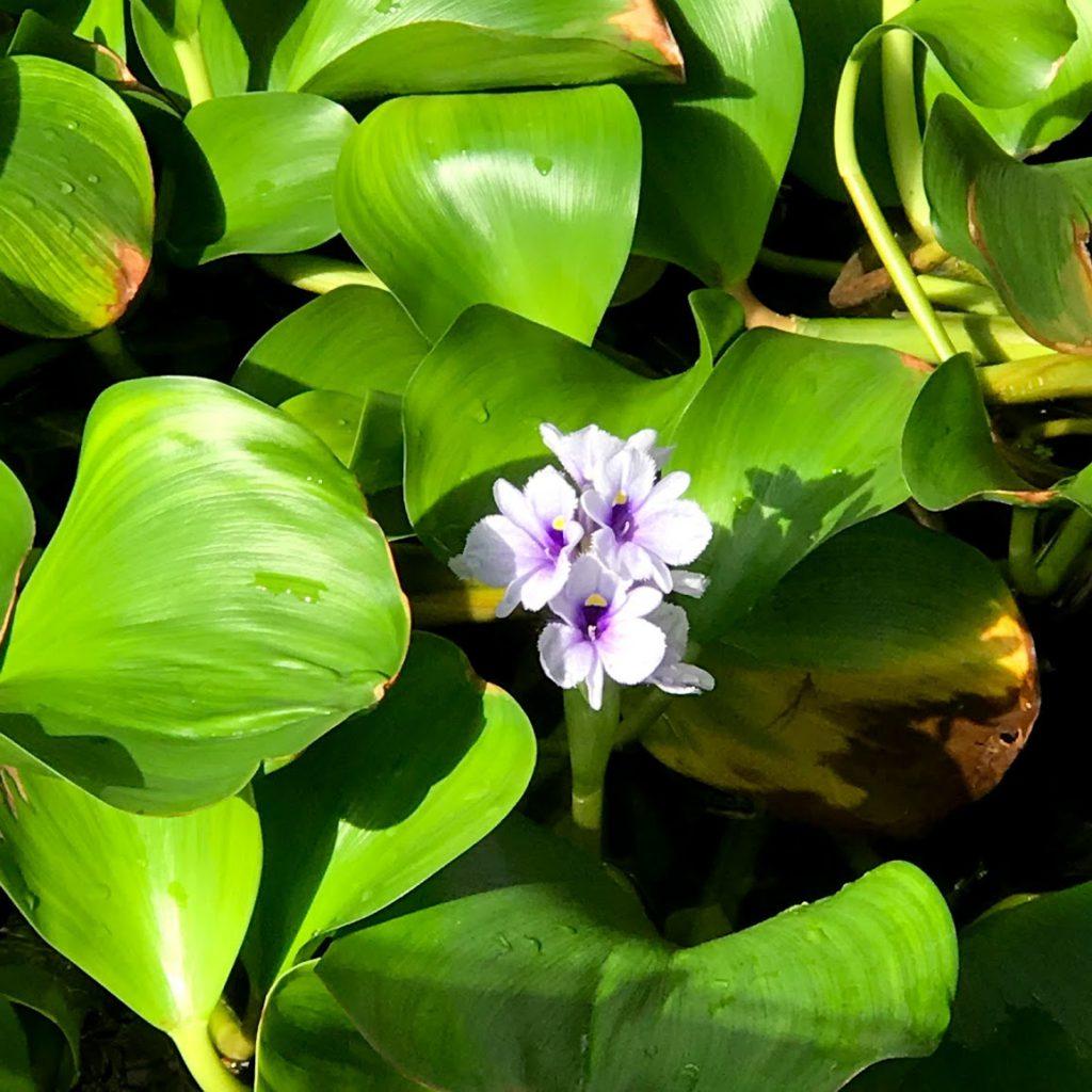 筑波実験植物園 水生植物温室の花