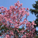 乾通り公開 桜