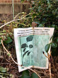 東京大学 突然変異 椿 七変化