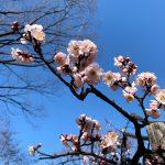 向島百花園の梅