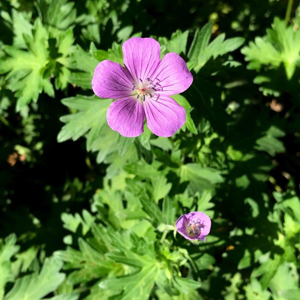 北海道大学植物園屋外の花