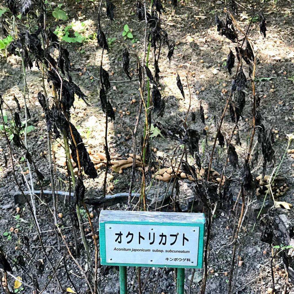 北海道大学植物園のトリカブト