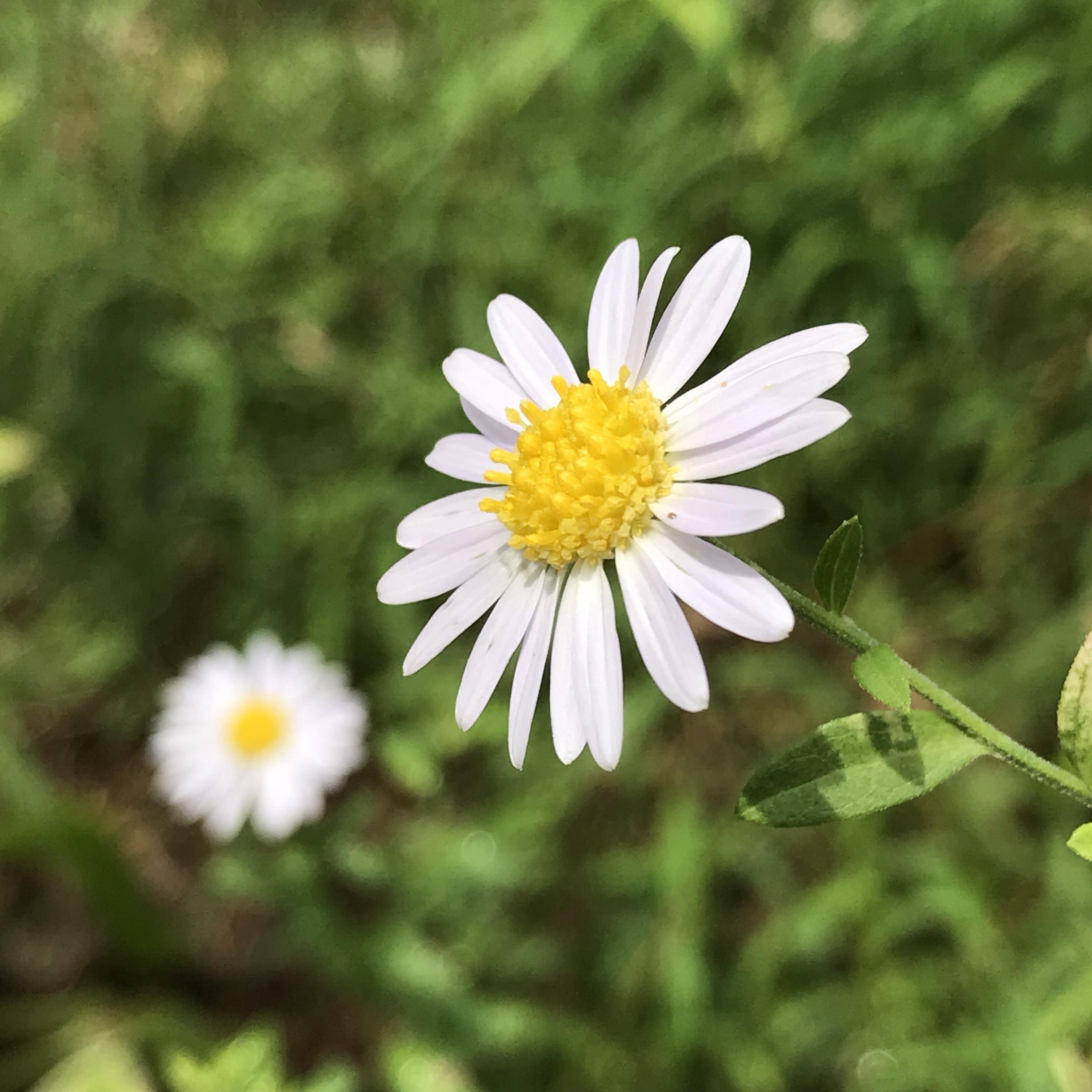 花 言葉 ヒナギク
