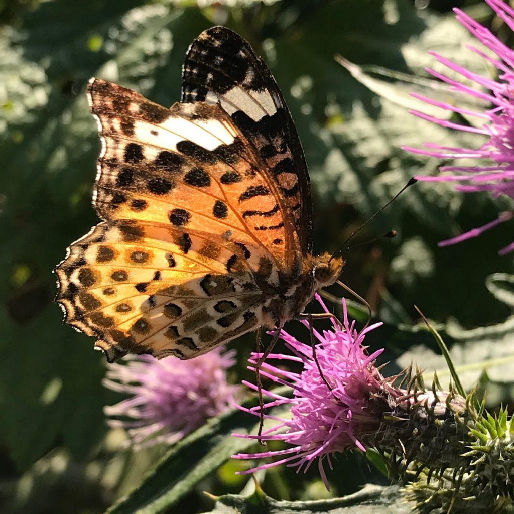 国立科学博物館附属自然教育園 アザミの蜜を吸う蝶