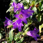 京王フローラルガーデンアンジェの花