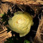 上野東照宮ぼたん苑の花たち