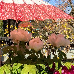 上野東照宮ぼたん苑の傘かぶりぼたん