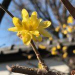 上野東照宮ぼたん苑の蝋梅