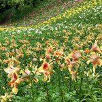 ところざわのゆり園の百合の花たち