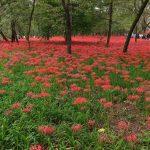 巾着田公園の曼珠沙華