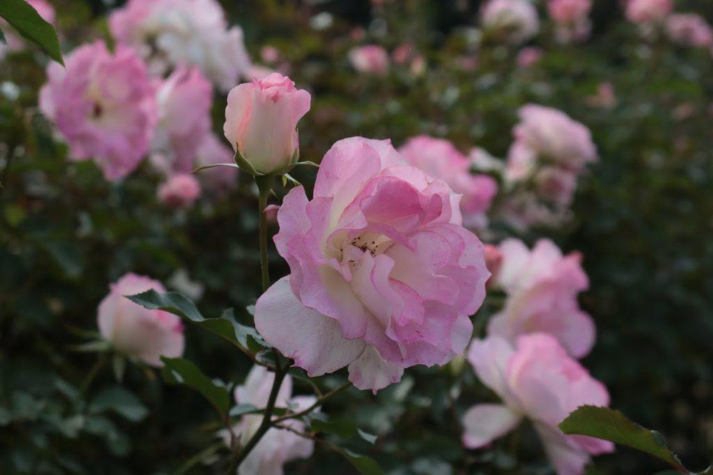 京成バラ園のバラの花
